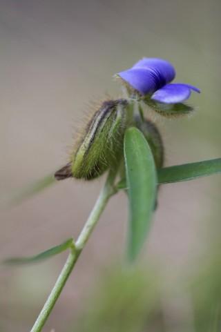 たぬきまめの花