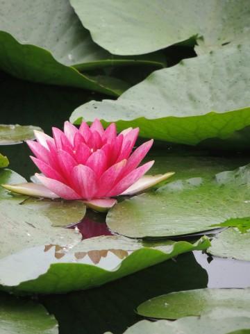 水に浮かぶ睡蓮