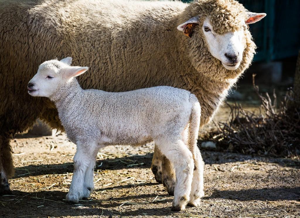 羊 2015の干支