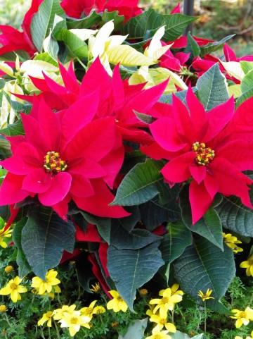 ポインセチアの花